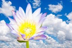 Härlig lotusblomma Arkivfoton