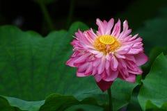 härlig lotusblomma Royaltyfri Bild