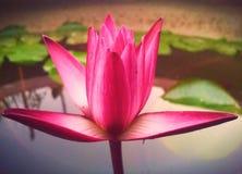 härlig lotusblomma arkivbild