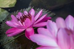 härlig lotusblomma Royaltyfria Bilder