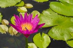 Härlig lotusblomma för Closeup Fotografering för Bildbyråer