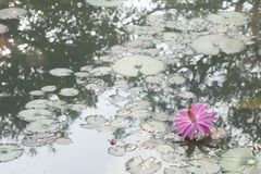 Härlig lotusblomma i dammet royaltyfri bild