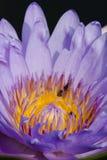 Härlig lotusblomma och bi Royaltyfri Fotografi