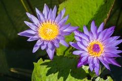 Härlig lotusblomma på pölen Arkivbilder