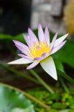 Härlig lotusblomma som blommas i vattnet Arkivfoton