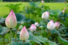 Härlig lotusblomma Thailand Royaltyfri Foto