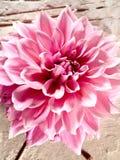 Härlig lotusblommablomma Arkivfoton
