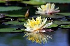 Härlig lotusblommablomma Fotografering för Bildbyråer