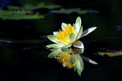 Härlig lotusblommablomma Royaltyfria Foton
