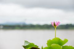 Härlig lotusblommablomma, i att blomma Royaltyfri Fotografi