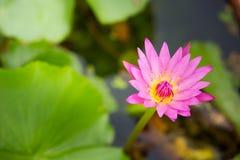 Härlig lotusblommablomma, i att blomma Royaltyfri Foto