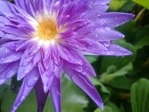 Härlig lotusblommablomma i regnet Det varma ljuset Arkivfoto