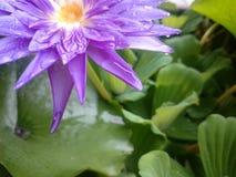Härlig lotusblommablomma i regnet Det varma ljuset Arkivbild