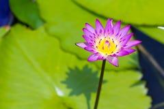 Härlig lotusblommablomma som blommar i dammet Arkivfoton