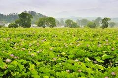Härlig lotusblommaby Arkivfoto
