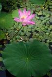 härlig lotusblommapong Royaltyfri Fotografi