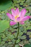 härlig lotusblommapong Arkivfoto