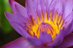 härlig lotusblommapurple Fotografering för Bildbyråer