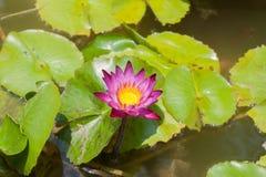 härlig lotusblommapurple Arkivfoto