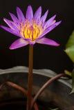 härlig lotusblommaviolet Royaltyfri Foto