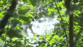 Härlig luddig transfusion av ljus till och med gröna sidor av träd naturlig suddig bakgrund, naturabstrakt begrepp lager videofilmer