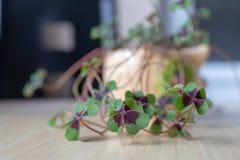 Härlig lycklig blommaväxt av släktet Trifolium fyra-bladet royaltyfri bild