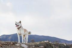 Härlig lycklig hundjapan Akita Inu med tungan ut på en bergbakgrund på våren på kusten av Lake Baikal arkivfoto