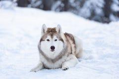 Härlig, lycklig och fri Siberian skrovlig hund som ligger på snöbanan i vinterskogen på solnedgången arkivfoto