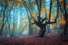 Härlig magisk skog i dimma i höst mystiskt trä Fairyt royaltyfria bilder