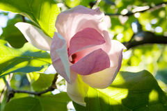 Härlig magnoliablomma under solljus med gräsplansidor som a Royaltyfri Foto