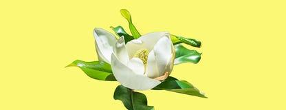 Härlig magnoliablommaknopp på gul bakgrund för moderiktigt neon Vårsommarbegrepp med den vita magnoliablomningen Selektivt fokuse royaltyfria bilder