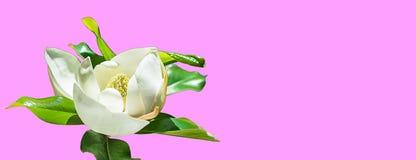 Härlig magnoliablommaknopp på moderiktig rosa bakgrund Vårsommarbegrepp med den vita magnoliablomningen Selektiv fokus, kopia vektor illustrationer
