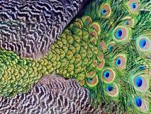 Härlig makro av påfågelfjädrar arkivbild