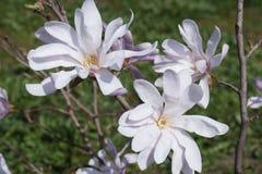 Härlig malvafärgad magnolia Arkivbild