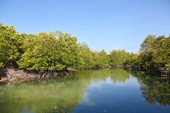 Härlig mangroveskog Fotografering för Bildbyråer