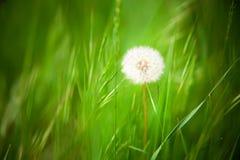 Härlig maskros med bakgrund för grönt gräs Royaltyfri Fotografi
