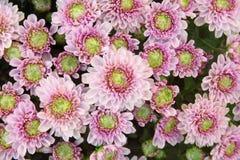Härlig maskrosbakgrund, rosa blommor blommar arkivfoton