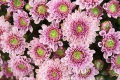 Härlig maskrosbakgrund, rosa blommor blommar i trädgården arkivbild