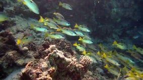 Härlig miljö för fisk och för rev rött hav arkivfilmer