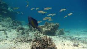 Härlig miljö för fisk och för rev rött hav stock video