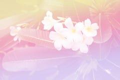 Härlig mjuk natur för bakgrunder för färgrosa färg- och blåttblommor - Plumeria Royaltyfri Bild