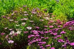 Härlig mjuk naturplats med massor av violetta blommor arkivfoto