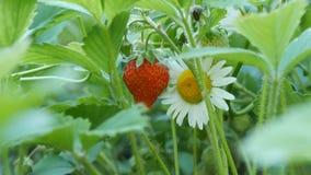 Härlig mogen saftig jordgubbe på en buske bredvid en kamomill stock video