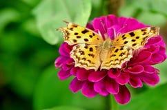 Härlig Monark-Fjäril royaltyfri fotografi