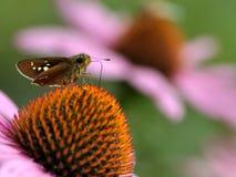 Härlig Monark-Fjäril arkivbilder