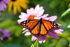 Härlig monarkfjäril på blomman royaltyfria foton