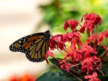 Härlig monarkfjäril på blommor royaltyfri fotografi