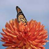 Härlig monarkfjäril på röd dahlia med färgrik bakgrund, isolerad closeupBeautiful monarkfjäril som matar på en ora royaltyfria foton
