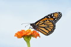 Härlig monarkfjäril som matar på en orange Zinnia royaltyfria bilder