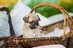Härlig mopshundvalp i en korg utomhus på sommardag Royaltyfri Foto